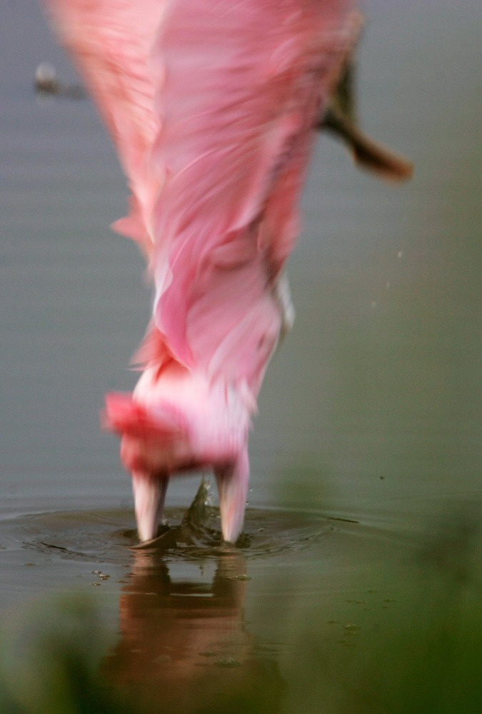 EVERGLADES, FL - SEPTEMBER 12:  A Roseate Spoonbill takes off from a pond in the Florida Everglades September 12, 2007 in the