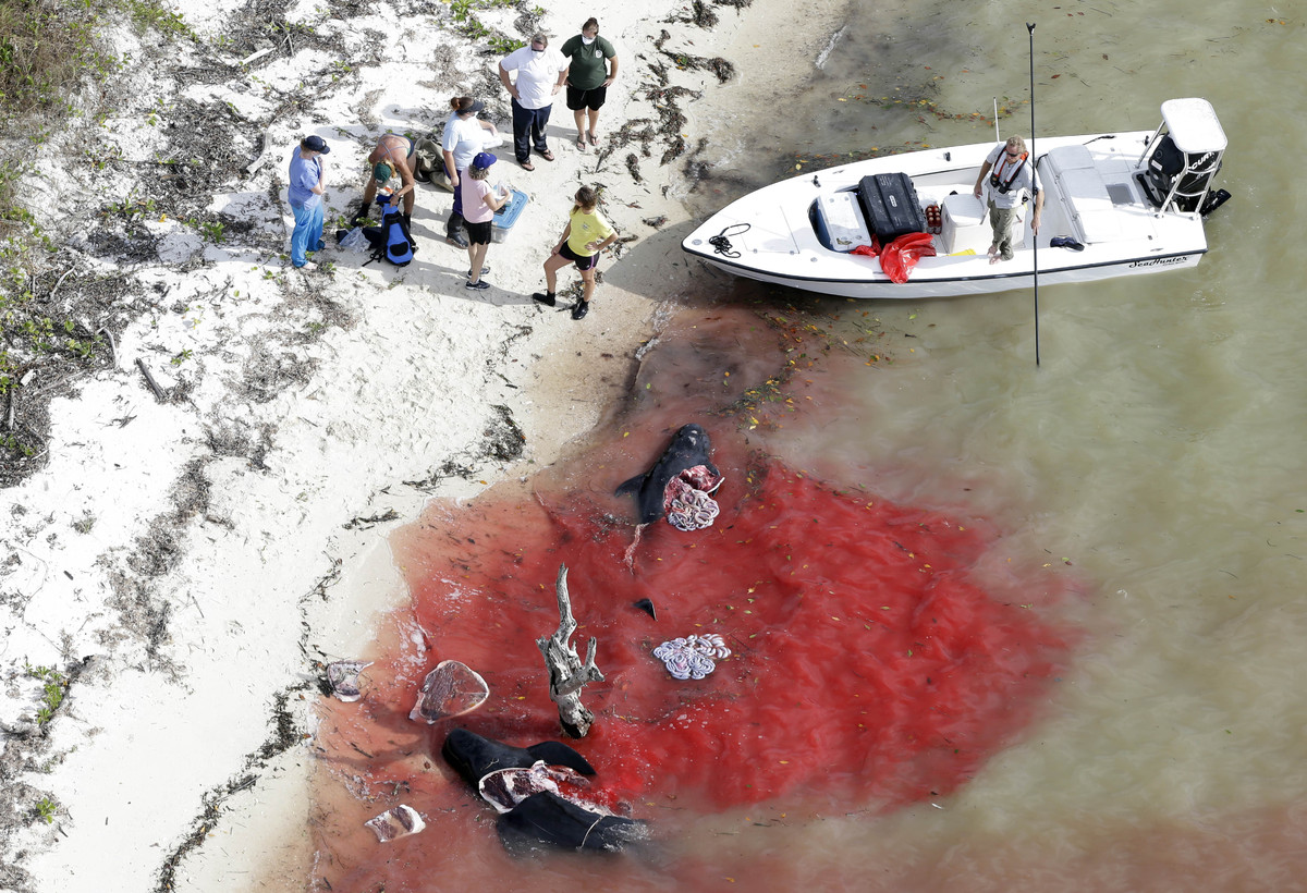 People stand on the beach where two dead pilot whales lie in the water in a remote area of Florida's Everglades National Park