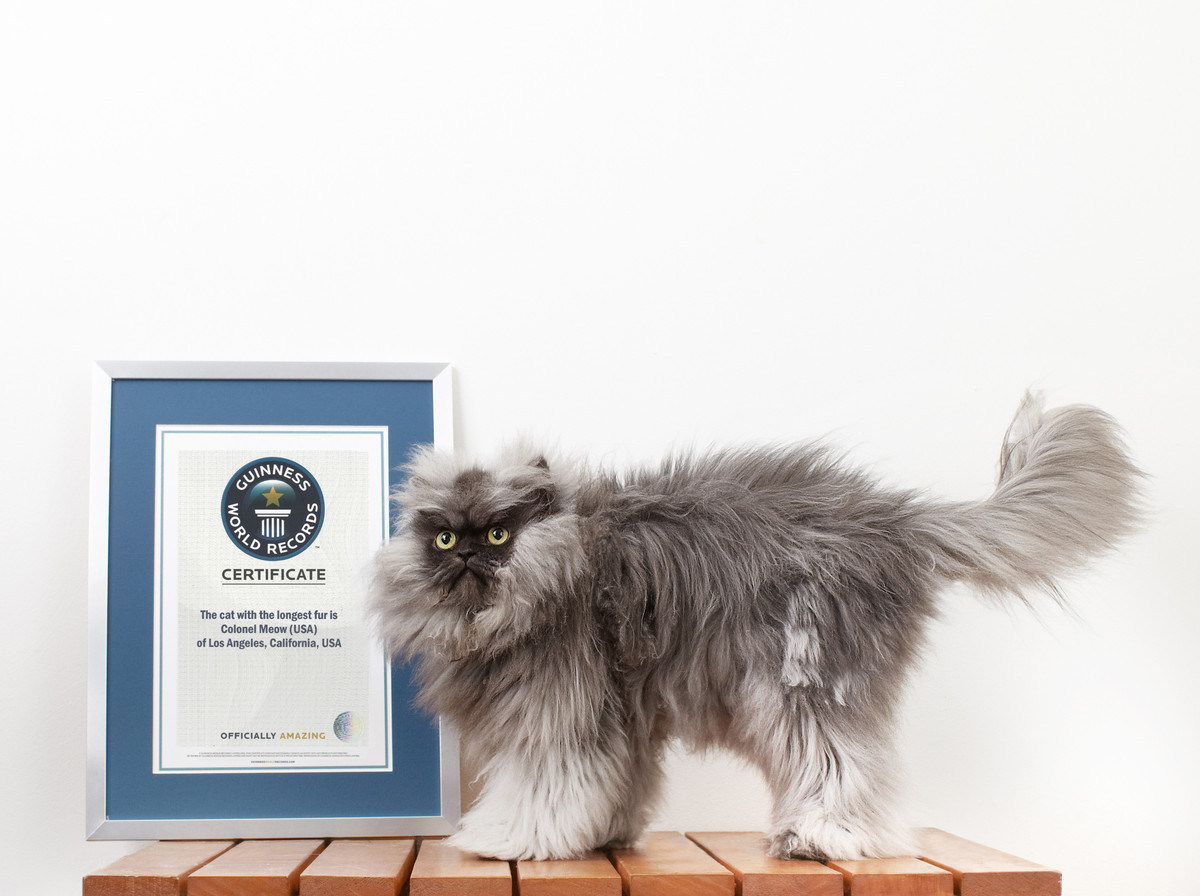 Superieur Colonel Meow Is Revered Among Internet Cat Obsessives For His Perpetually  Smug Scowl. Now Guinness. Guinness World Records