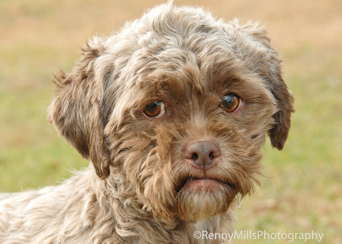 "Tonik, the poodle-Shih Tzu mix available for adoption from an Indiana animal welfare ageny, <a href=""http://www.huffingtonpos"