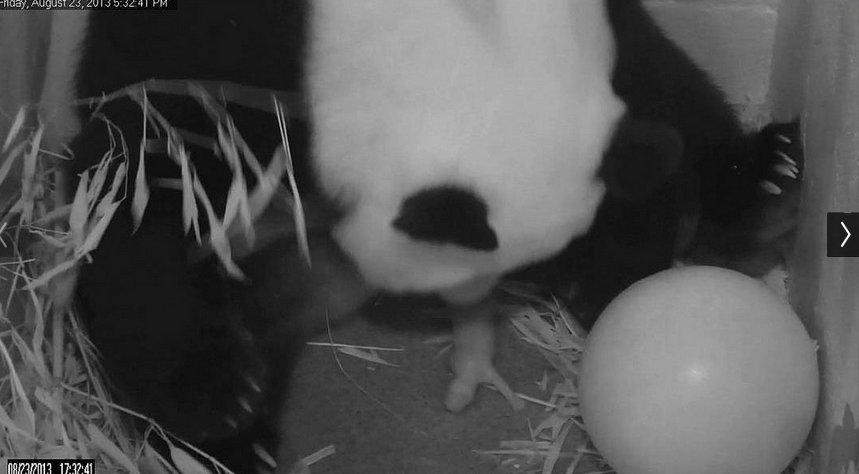 Bao Bao being born, on Aug. 23, 2013