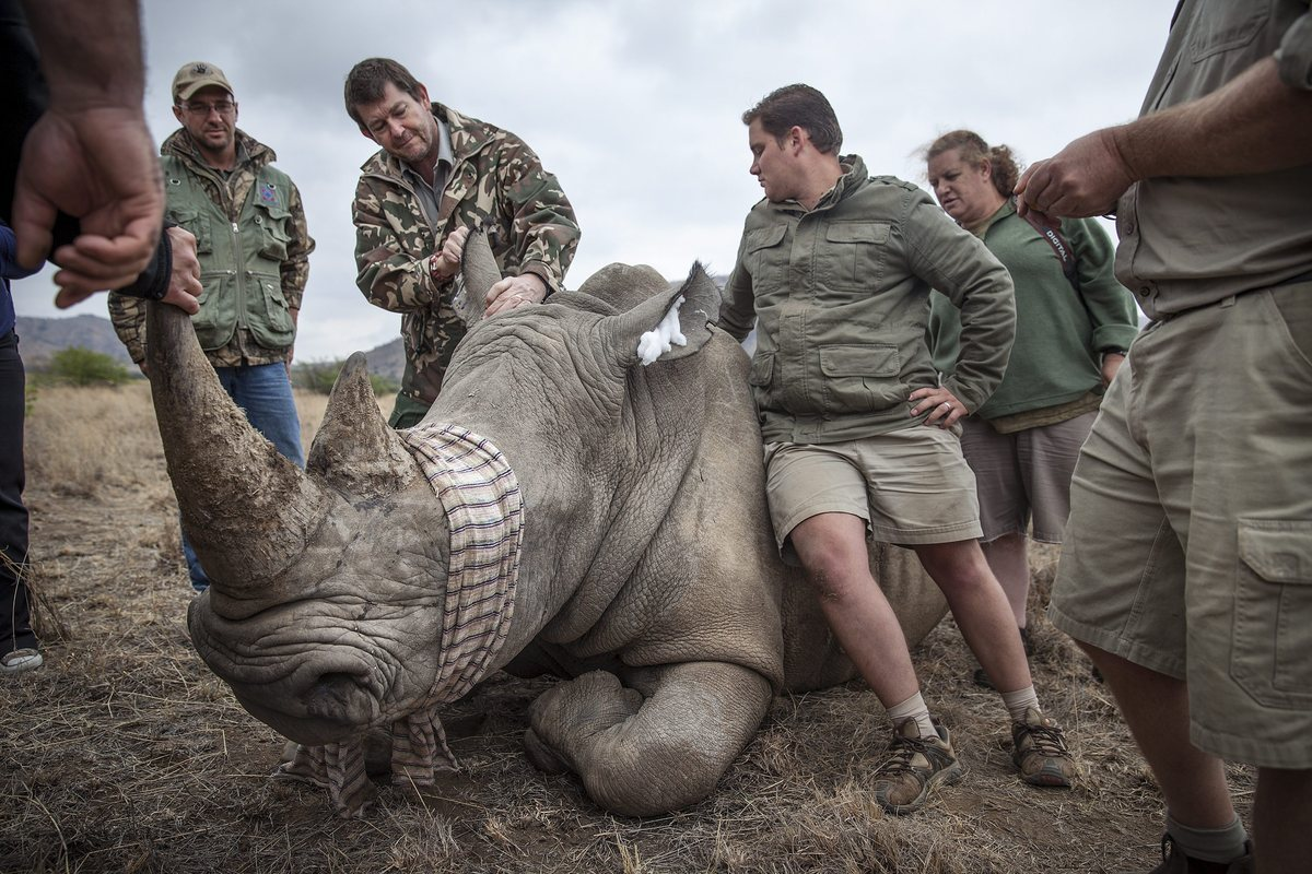 A rhino at the Pilanesberg Game Reserve on October 23, 2013, in Pilanesberg, South Africa. Rhino were tagged and DNA collecte