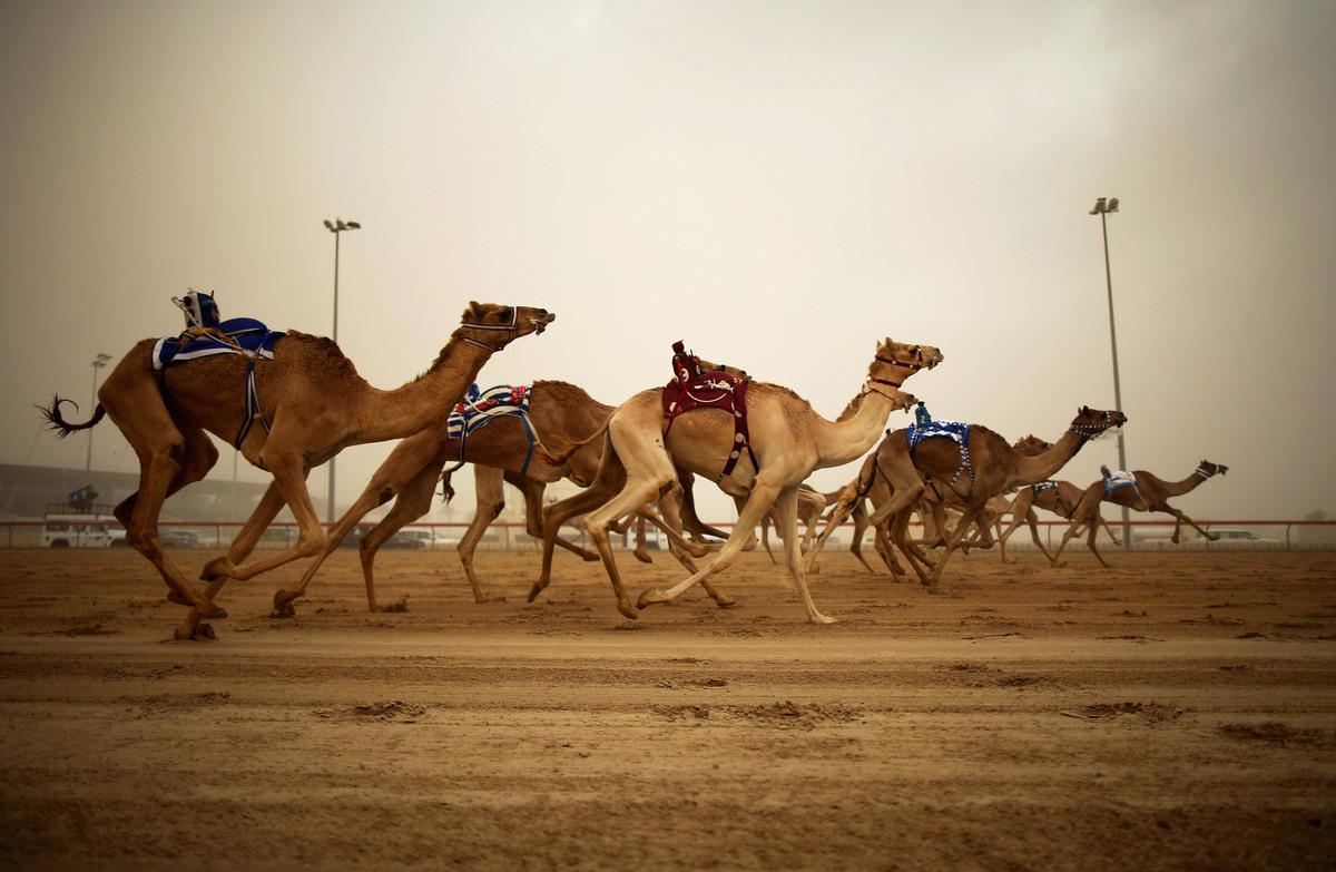 Robotic jockeys control camels during a race at Dubai Camel Racing Club during the Al Marmoum camel racing season on November
