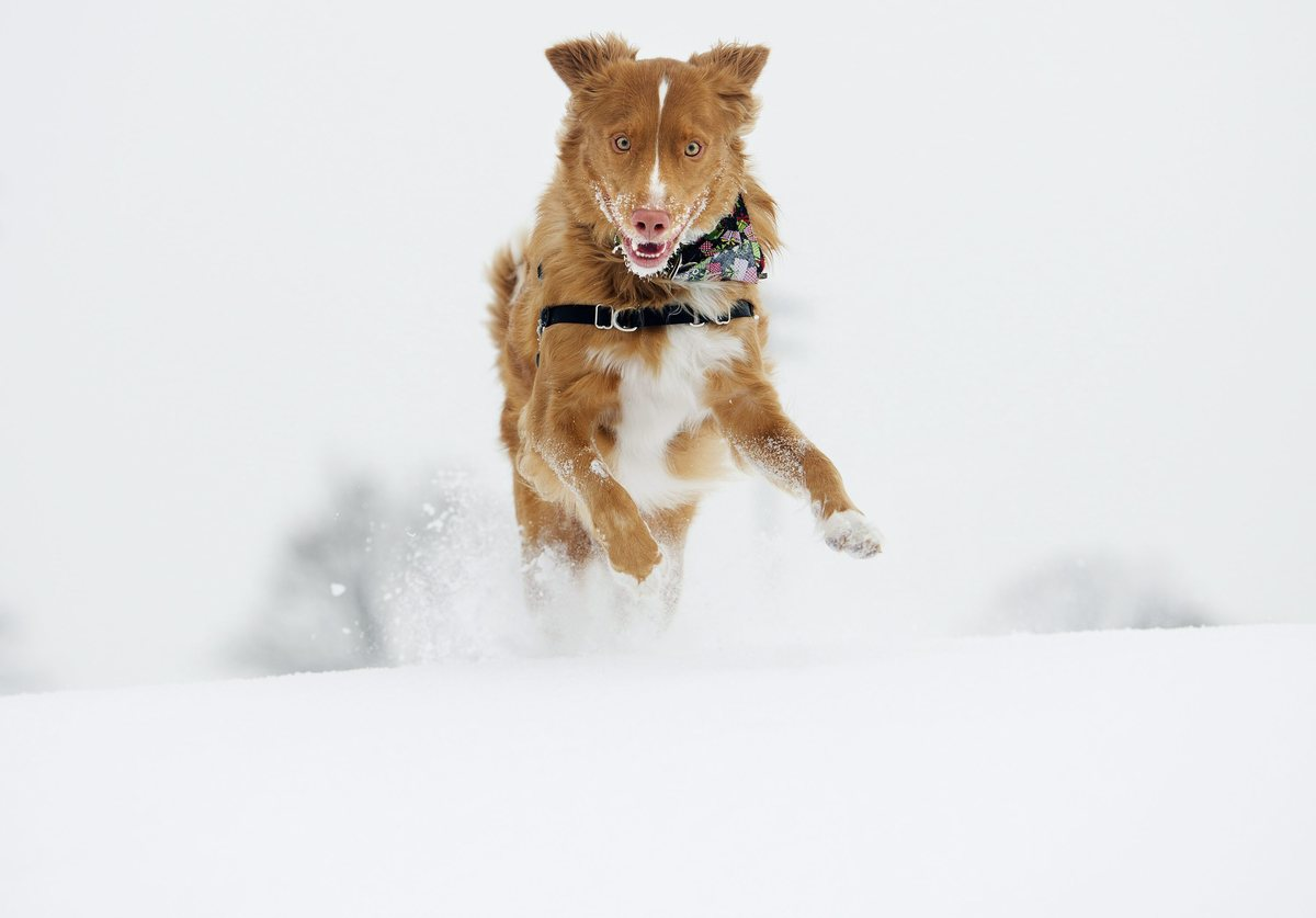 Derry, a one year-old Nova Scotia Duck Tolling Retriever, runs through the snow in Toronto on Sunday, Dec. 15, 2013. A strong