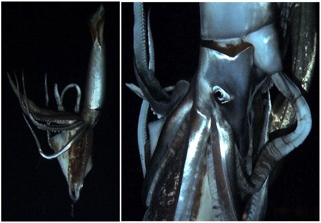 For centuries, sailors have reported encounters with a giant squid, the monster Kraken that has reportedly attacked ocean-goi