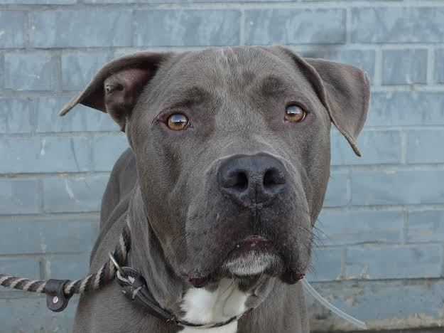 With a handsome gray coat, Blue is a sociable boy of about five years. His previous owner, who moved to a building that doesn