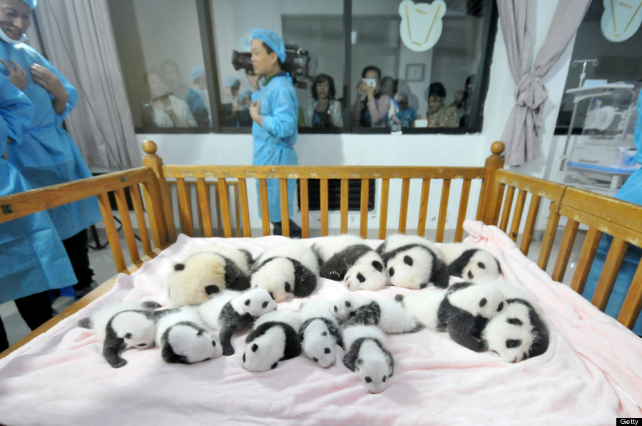 """In September, <a href=""""http://www.huffingtonpost.ca/2013/09/23/baby-pandas-china_n_3977091.html"""" target=""""_blank"""">China's Chen"""
