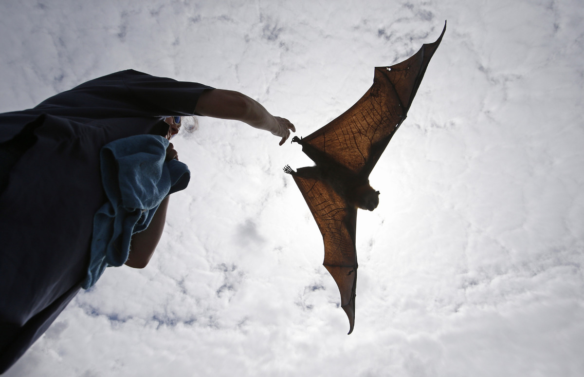 A wildlife carer releases a Grey Headed Flying Fox in Centennial Park in Sydney, Australia, Wednesday, Feb. 5, 2014. Each yea