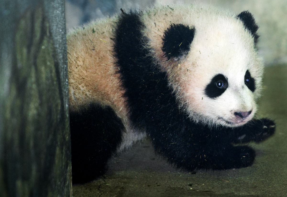 Bao Bao, the Giant Panda cub is seen by the media for the first time January 6, 2014 inside her glass enclosure at the Smiths