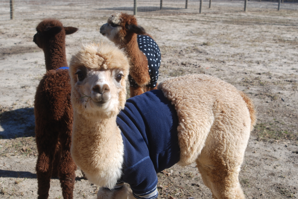 "stable money makers: alpaca business essay Being an alpaca owner provides unique and wonderful life experiences people  in many countries call alpacas ""the world's finest livestock"" valuable business."