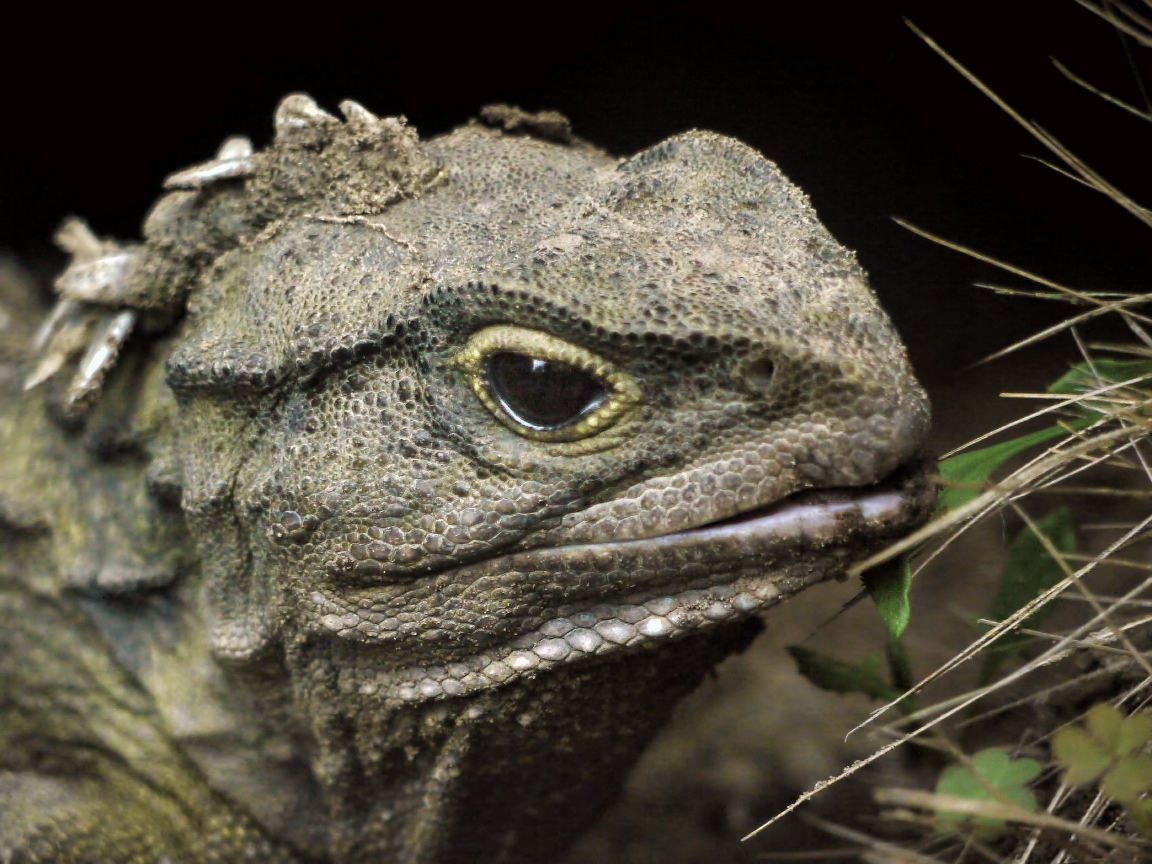 """Tuataras are the only surviving members from <a href=""""http://www.stlzoo.org/animals/abouttheanimals/reptiles/tuatara/"""" target"""