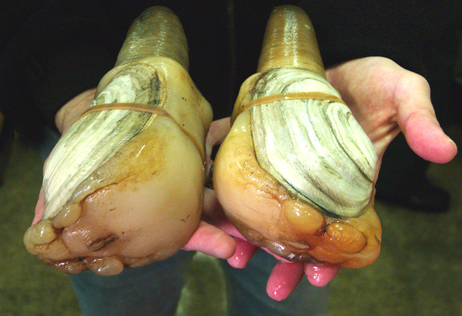 """These clams, the largest of the burrowing clams, can live in <a href=""""http://www.ecy.wa.gov/programs/sea/pugetsound/species/g"""