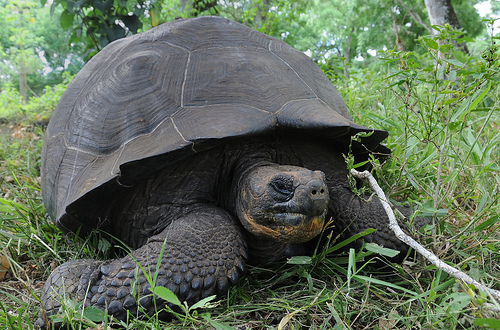 The giant tortoises of the Galápagos Islands are the longest-living vertebrates with an average lifespan of over 100 years, t
