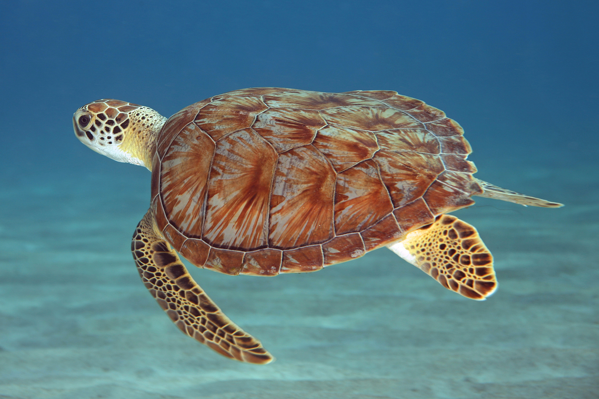 """This sea turtle species is said to live for 80 to 100 years, and doesn't reach sexual maturity until <a href=""""http://www.nwf."""