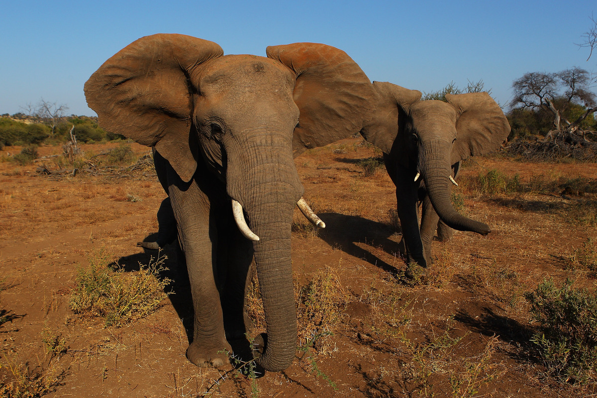 """Elephants have some of the greatest longevity of land mammals. Lifespan estimates of both Asian and <a href=""""http://animals.n"""
