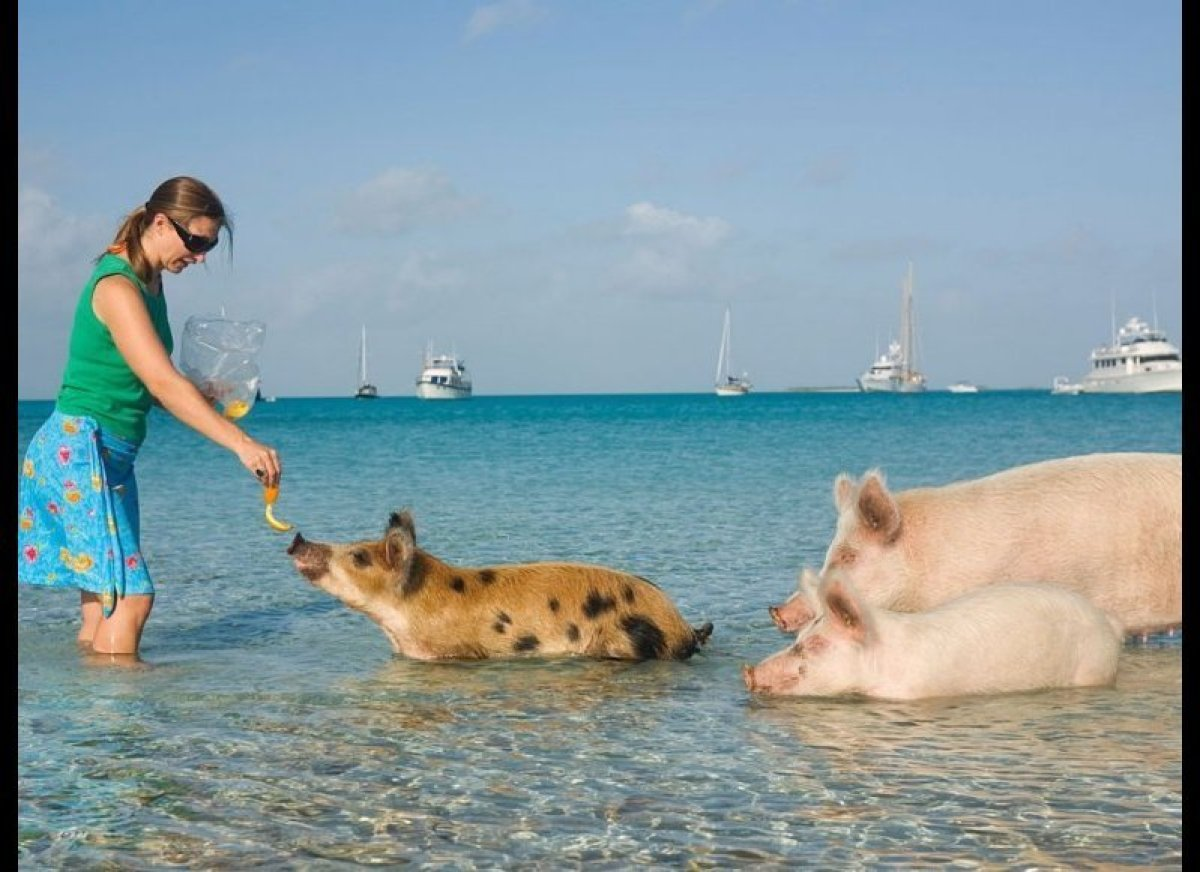 <strong>WADE WITH PIGS</strong> Pig Beach, Bahamas    Pigs still can't fly, but there is a group of swine that loves to s