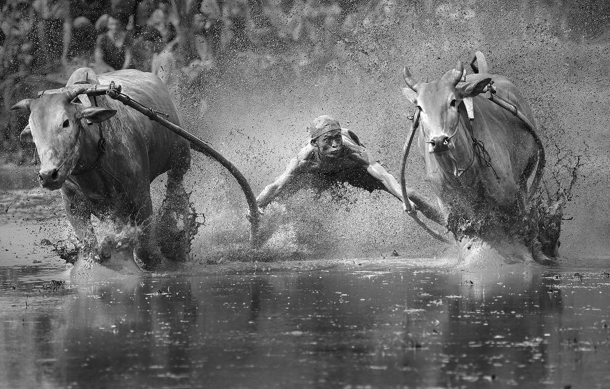 """<strong>China - Finalist Sport Professional Competition: </strong> """"This group race cow taken in the city of Padang, Sumatra,"""