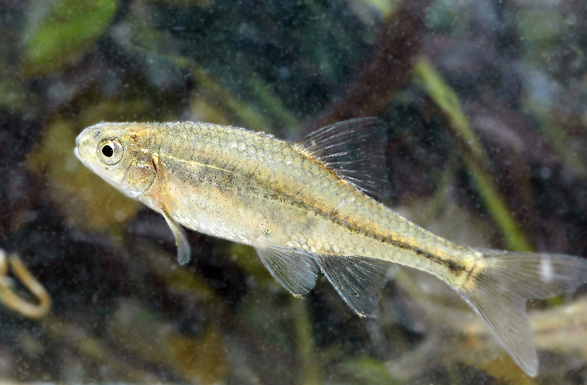 "Endemic to the Willamette River Valley of western Oregon, this small minnow was <a href=""http://www.fws.gov/oregonfwo/species"