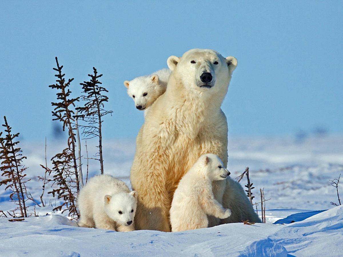 ものすごく可愛い「シロクマの三つ子の赤ちゃん」   ハフポスト