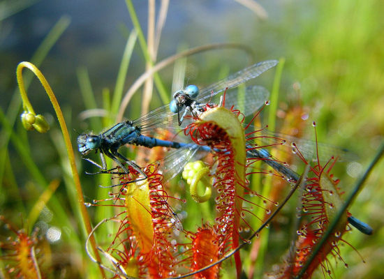 """By employing a """"flypaper trap"""" through the sticky glands found on its leaves, this cape sundew plant is able to capture two d"""