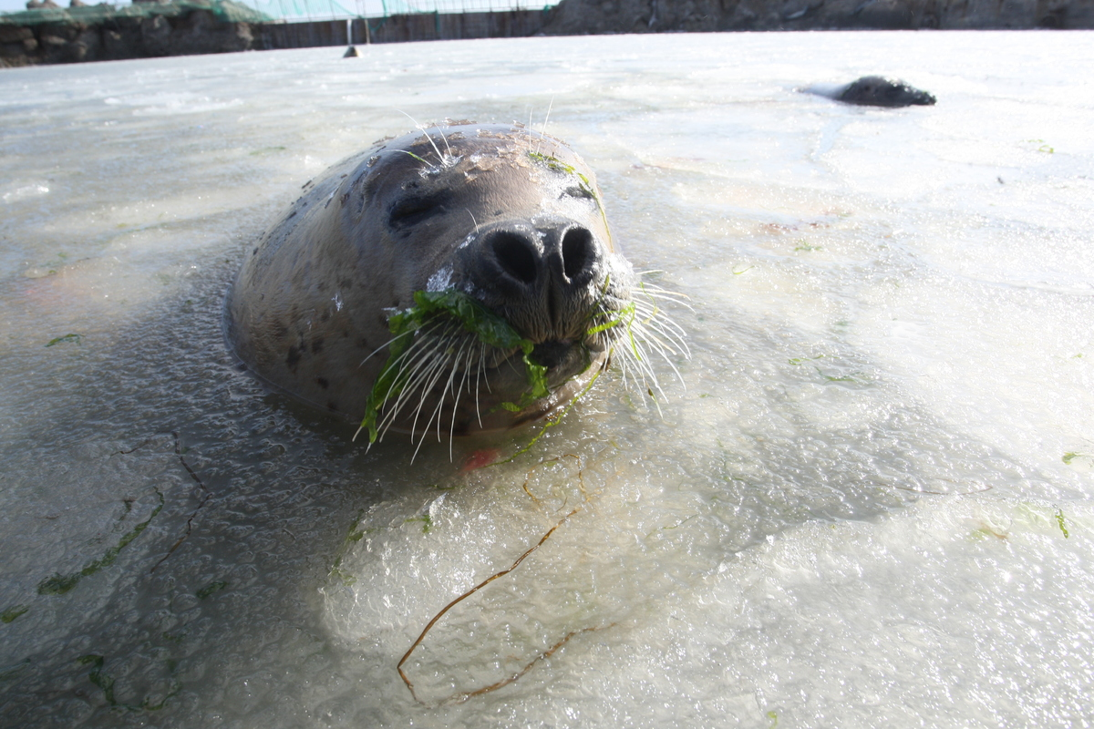 A spotted seal swims in an open-air zoo at Dongpaotai Park on February 10, 2014 in Yantai, Shandong Province of China. Worker