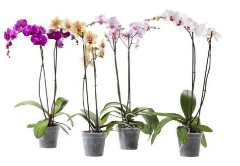 """<a href=""""http://www.ikea.com/us/en/catalog/products/40148542/"""" target=""""_blank"""">PHALAENOPSIS Potted Plant</a>, $15 each"""