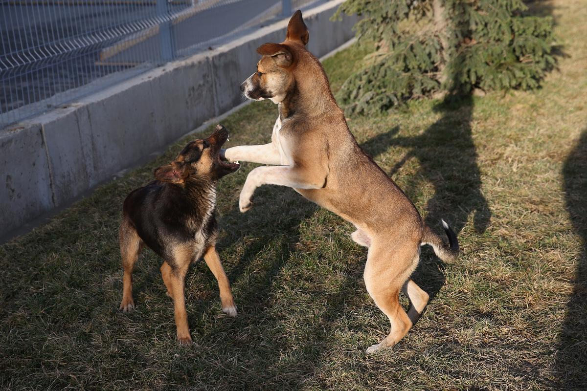 SOCHI, RUSSIA - FEBRUARY 15:  Dogs are seen fighting outside the Gorki Media Centre on February 15, 2014 in Sochi, Russia.  (