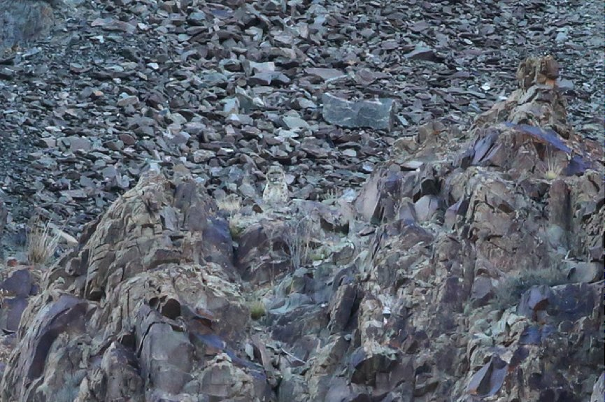 Snow leopard peering over a rocky outcrop in the Tarbung Valley.