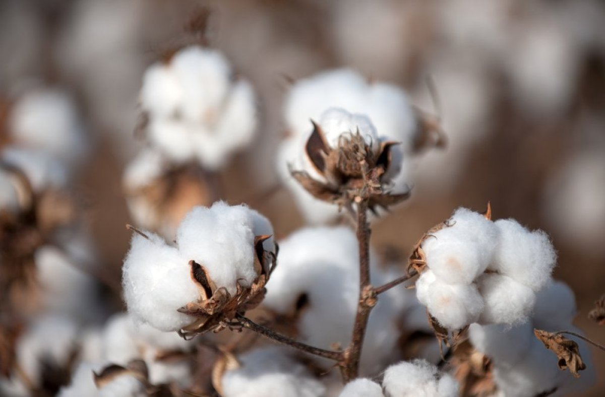 Roughly 90 percent of American-grown cotton is genetically modified. We know what you are thinking. How in the world do cotto