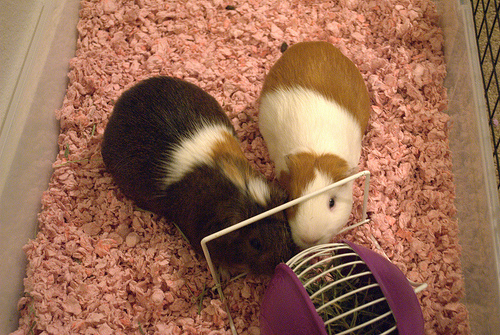 If you keep small animals like rats, guinea pigs, or hamsters, consider adding lint to their enclosures for nesting purposes.