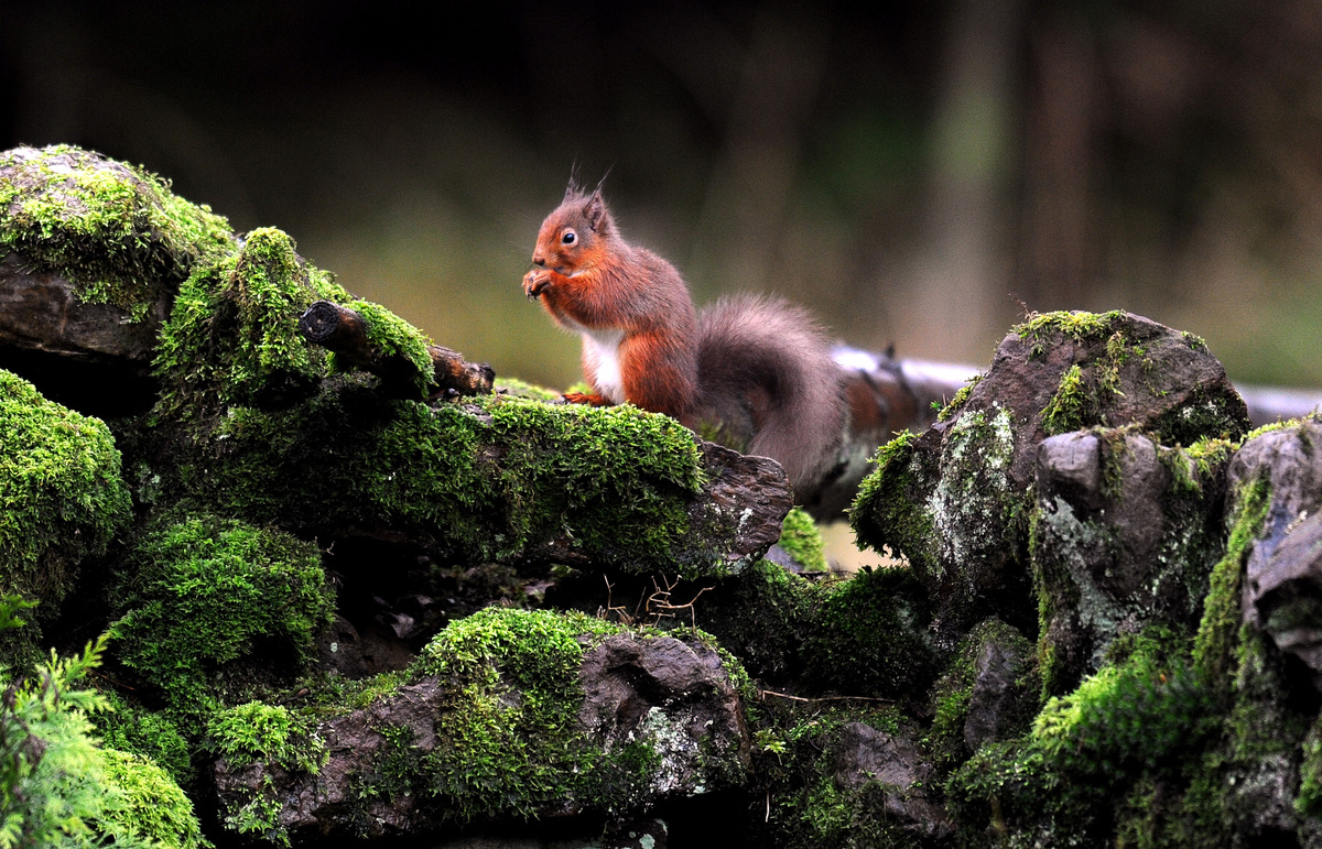 A Red Squirrel on a stone wall in Kielder Forest, Northumberland.