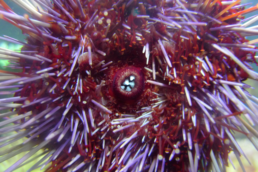 Sea urchin is considered a delicacy in parts of the world. It is not the outside shell that you eat, but the gonads being pro
