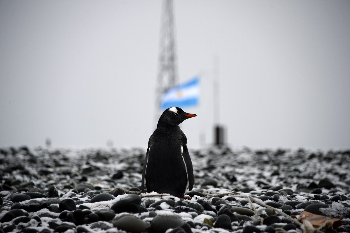 View of a penguin at the Argentinian military base of Camera in Antarctica taken during a mission of the Brazilian Navy's Oce
