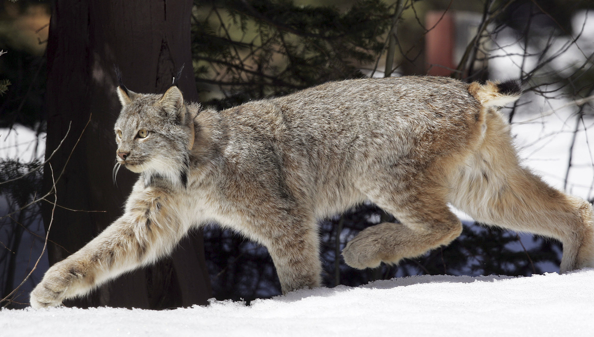 Several wildcats -- like the Canada lynx, ocelot and Florida panther -- are all at risk from climate change. For example, sea