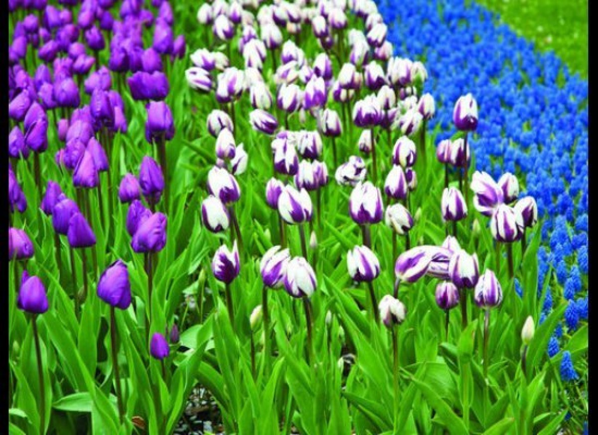 Tulips are as synonymous with the Netherlands as Amsterdam. In spring, entire fields are carpeted in vibrant flowering glory.