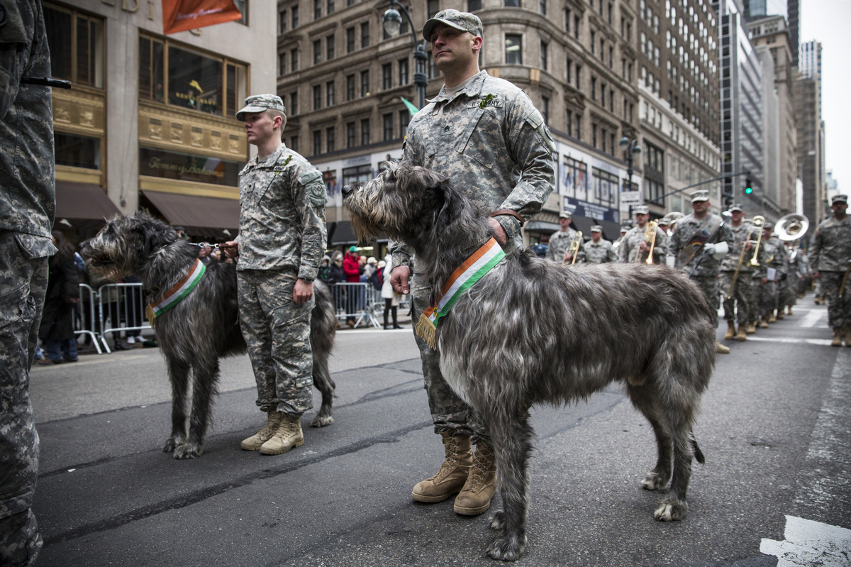 Members of the military and a pair of Irish Wolfhounds march in the annual St. Patrick's Day Parade along Fifth Ave in Manhat