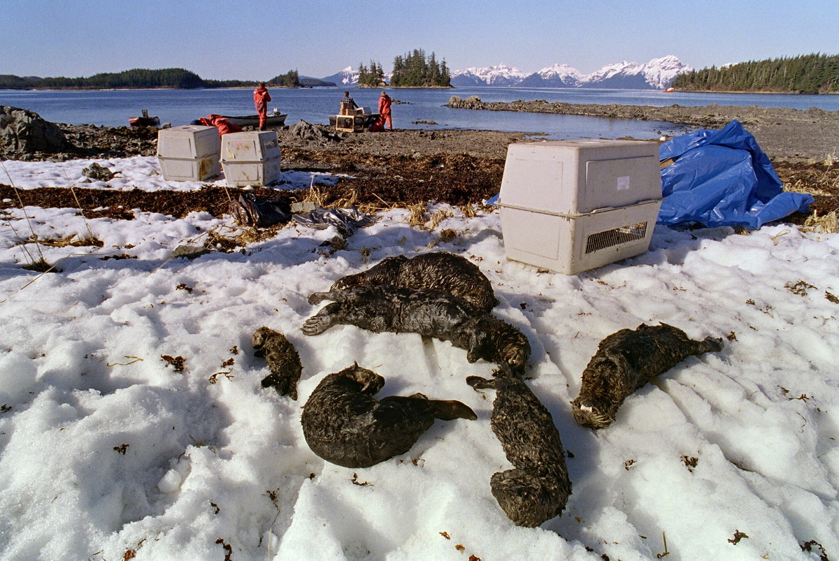 VALDEZ, UNITED STATES:  One baby and five adults oil-soaked sea otters lie dead on Green Island beach 03 April 1989 on Prince