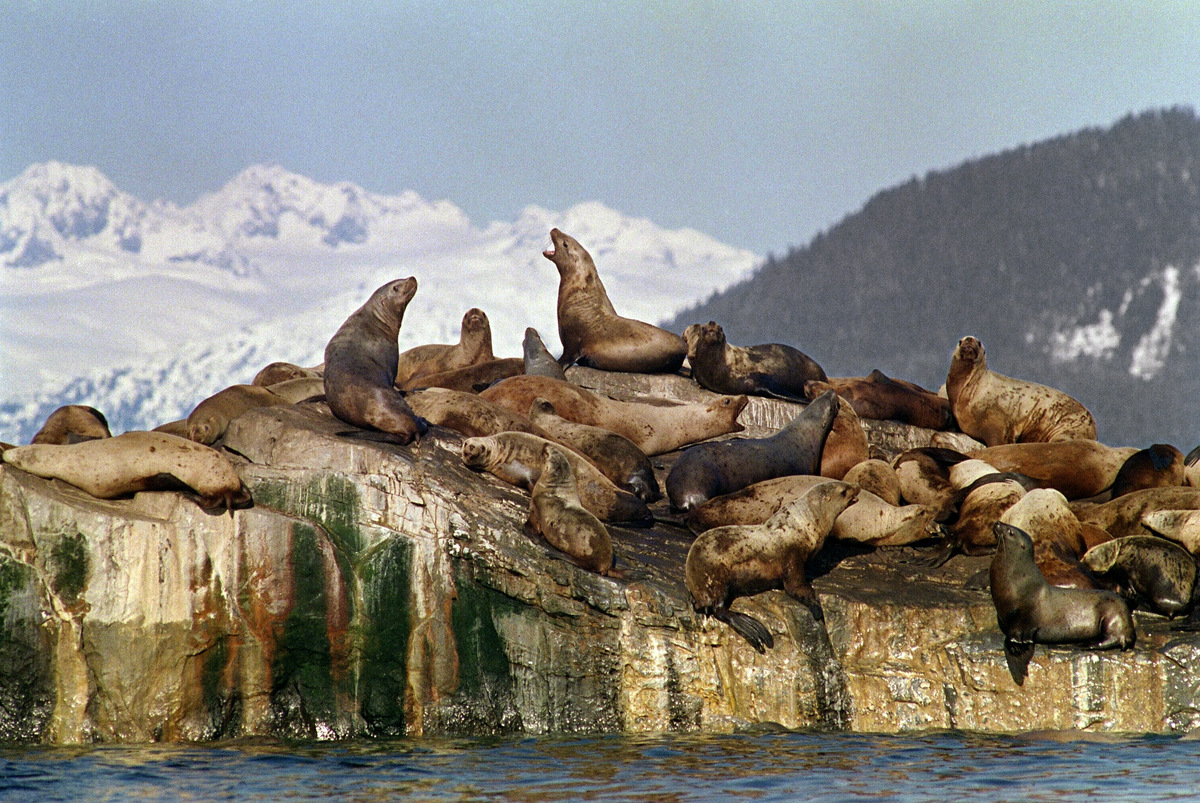 Sea lions sun themselves on oil polluted rock formation 02 April 1989 in Prince Williams Sound near Valdez more than a week a