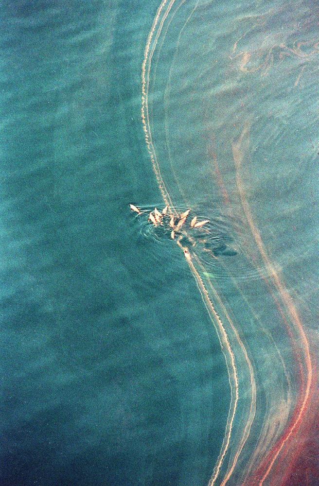 A pod of sea lions swim through a slick of crude oil off the shore of Ingot Island, Alaska, Thursday afternoon, April 14, 198