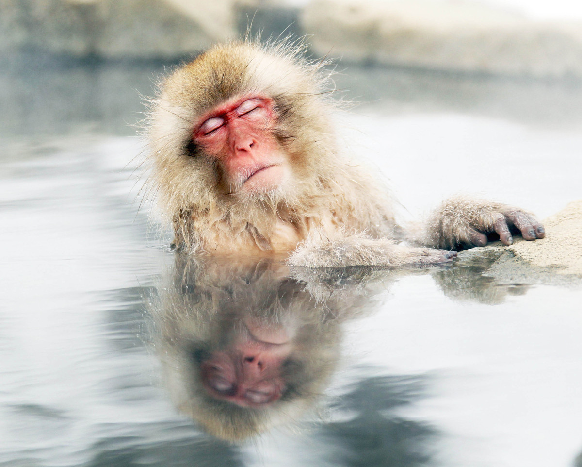A Japanese snow monkey relaxes in a hot spring in the Jigokudani valley, northern Nagano Prefecture, Japan on Feb 10, 2012. (