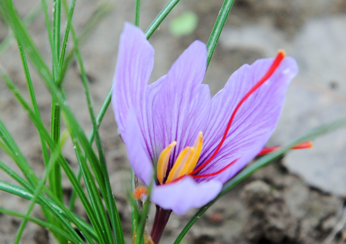 The saffron threads are found in the blossoms of the crocus. To be more scientific about it, they are the vivid crimson stigm