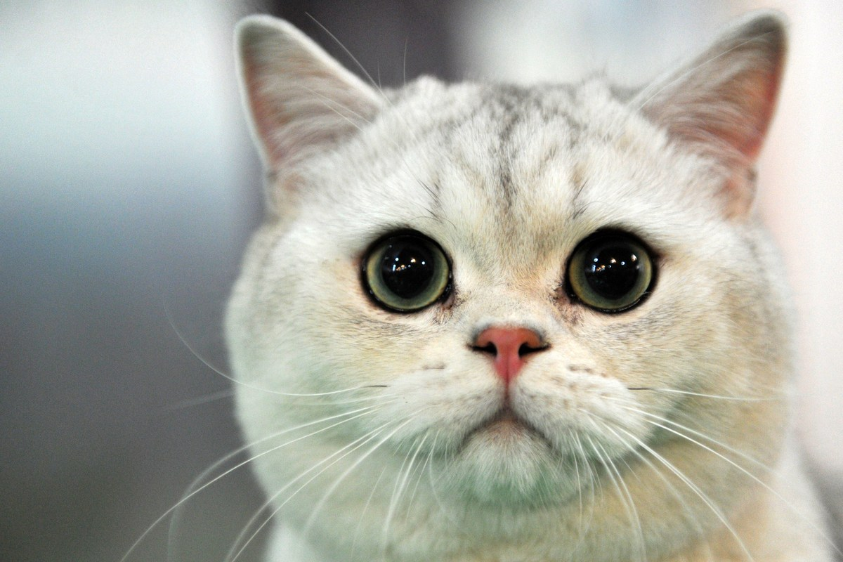 A British Shorthair cat looks on during a cat exhibition in Bishkek on March 23, 2013. Cat lovers from Kyrgyzstan, Kazakhstan