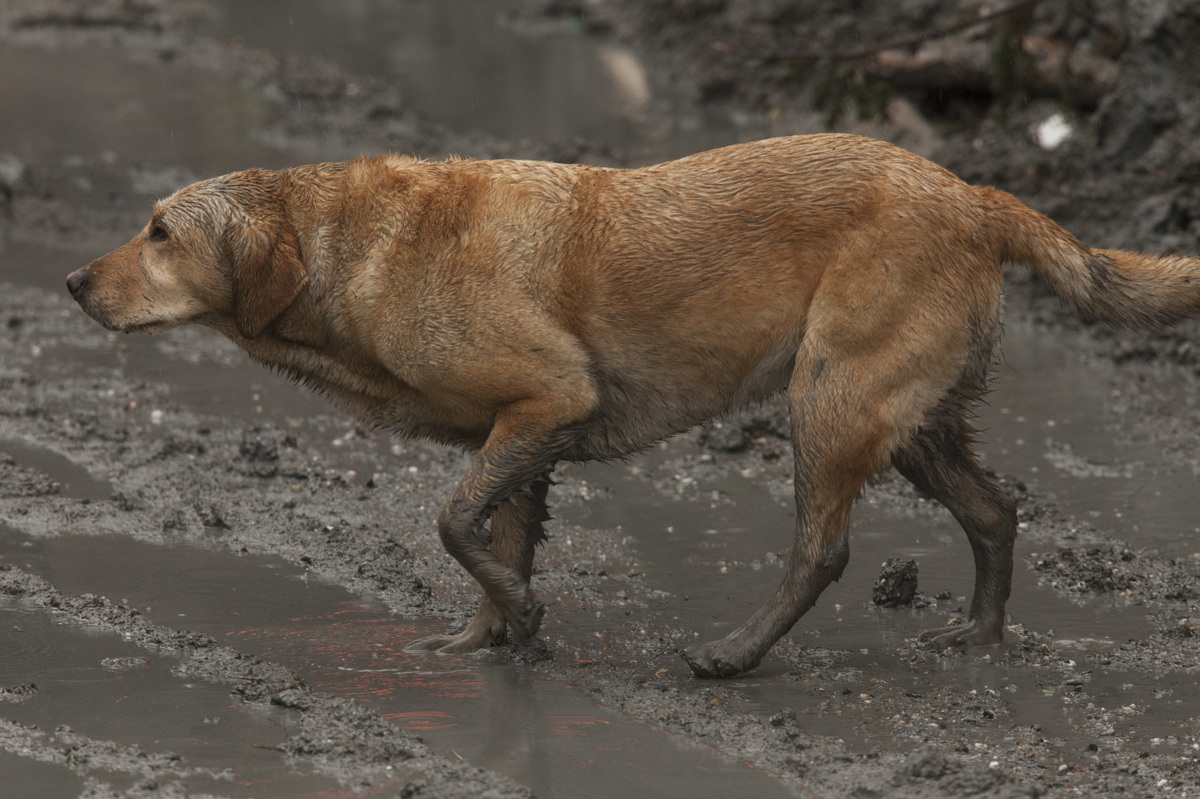 OSO, WA - MARCH 29: A search and rescue dog works at the Oso mudslide site on March 29, 2014 in Oso, Washington. A massive mu