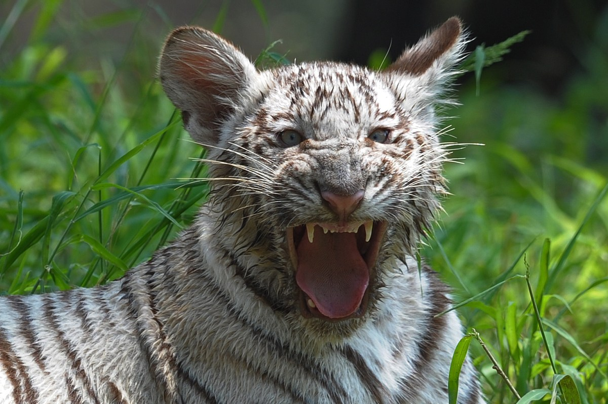 A six-month old Indian white tiger cub yawns at its enclosure at the Nehru Zoological Park in Hyderabad on March 29, 2014. Th