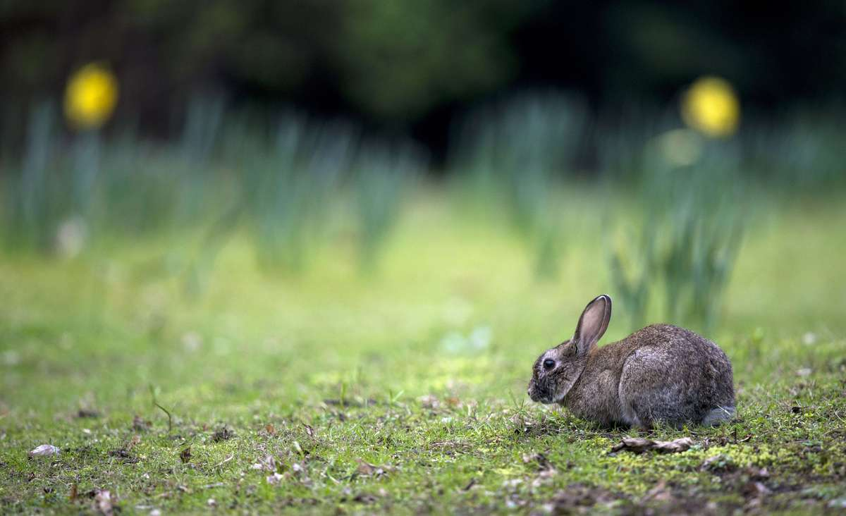 A rabbit is pictured on March 28, 2014 in Berlin's Tiergarten park.   (JOHANNES EISELE/AFP/Getty Images)