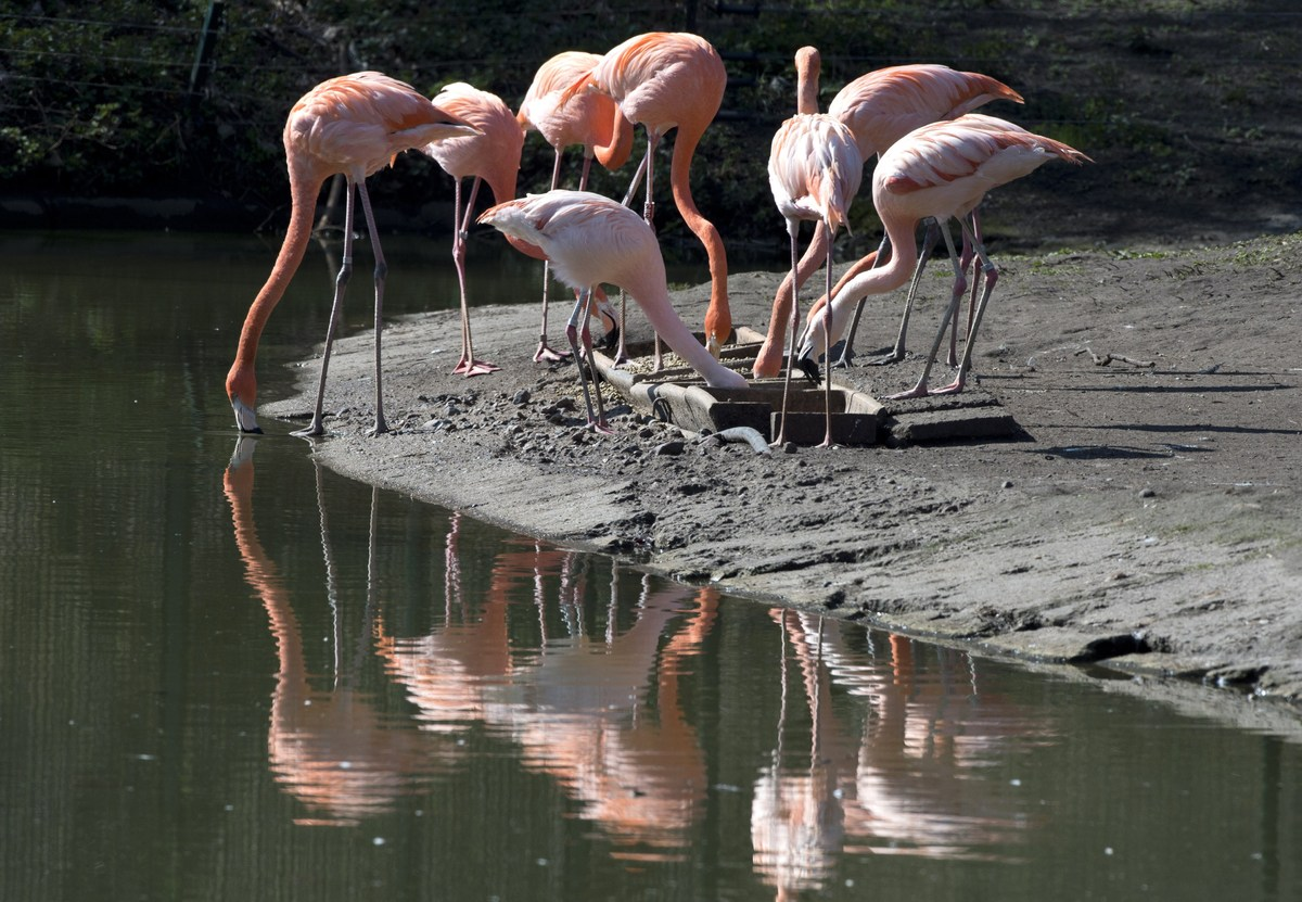 Caribbean flamingos are reflected in a pond as they feed in their enclosure at Berlin's Tierpark zoo on March 27, 2014.  (JOH