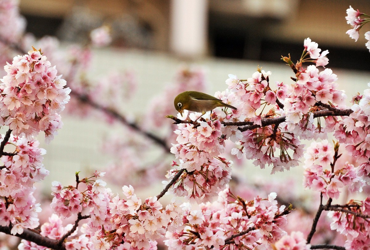 A bird sits on a branch of a blooming cherry tree at a park in Tokyo on March 25, 2014. Spring officially arrived in Tokyo on