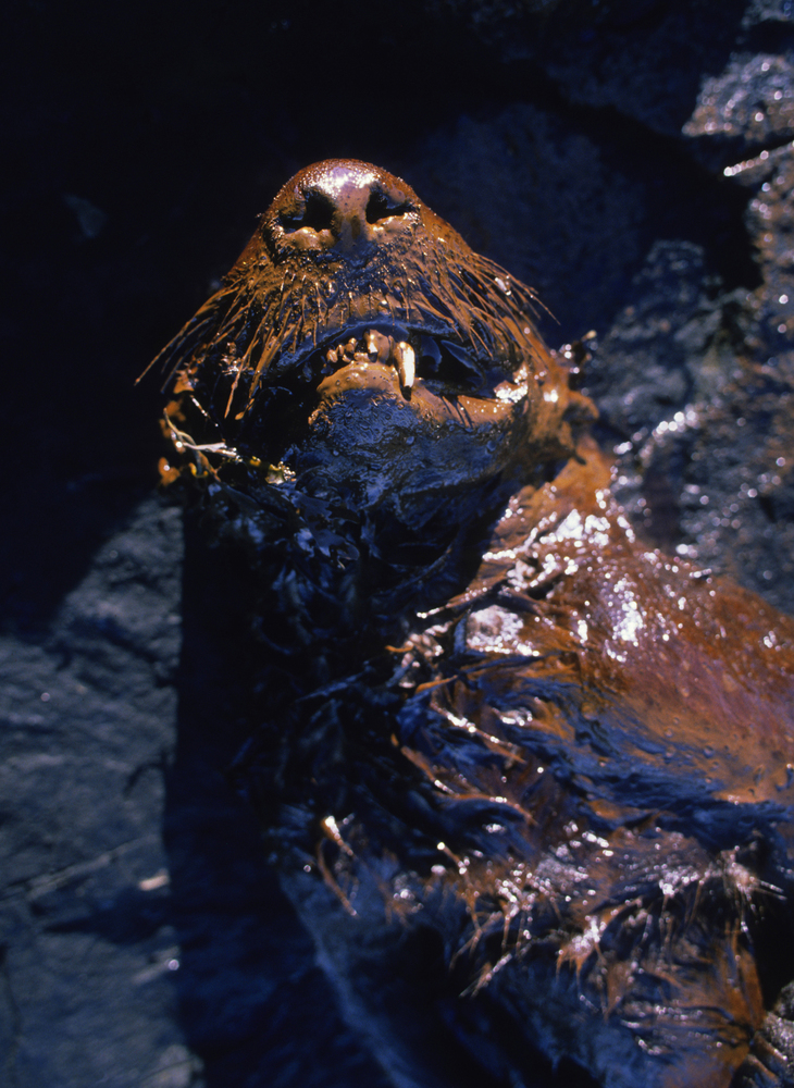 A dead sea otter coated with crude oil from the Exxon Valdez oil spill was found on the beach of Green Island in Prince Willi
