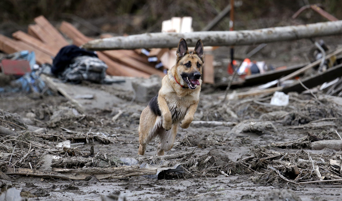 Search dog Stratus leaps through a debris field while working with a handler following a deadly mudslide, Tuesday, March 25,