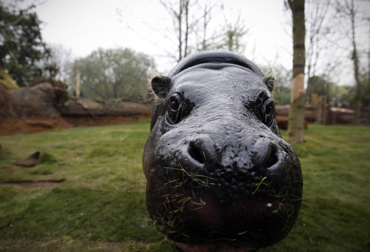 Thug, a 17-year-old pygmy hippo, moves around in a new enclosure equipped with solar panels at London Zoo in London on April